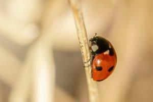A close up photograph of a ladybird